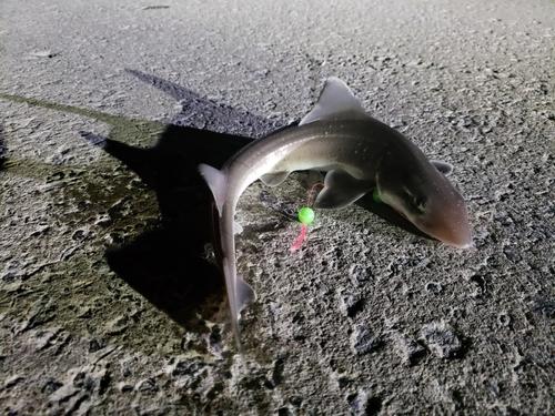 サメの釣果