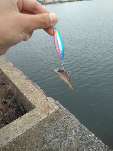 ヒイラギの釣果