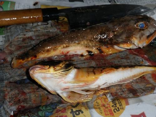 ギスカジカの釣果
