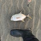 遠州灘での釣り記録の釣果