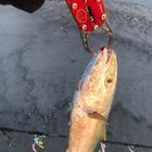 座布団ヒラメを釣りたい素人の釣果