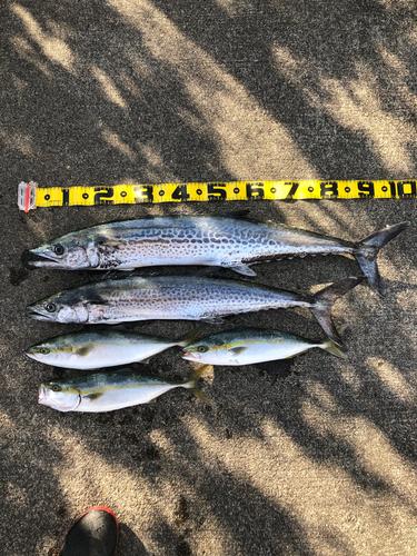 サワラの釣果