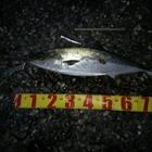 【イシグロ】シーバスダービー2019 秋の釣果