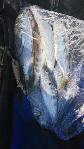 コノシロの釣果