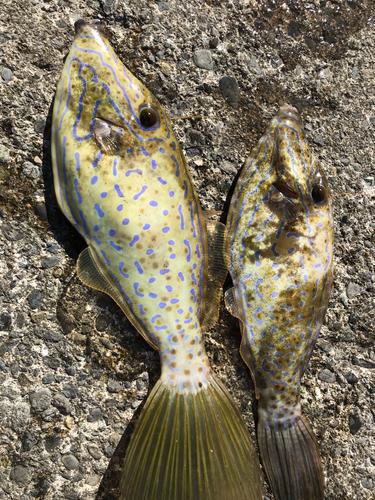 ソウシハギの釣果