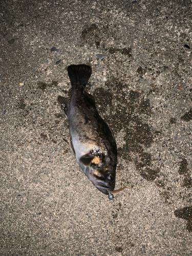 クロソイの釣果
