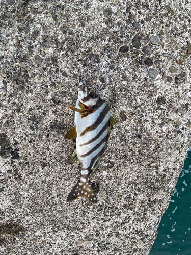 タカノハダイの釣果