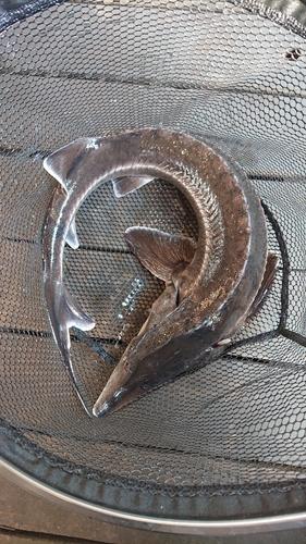 チョウザメの釣果