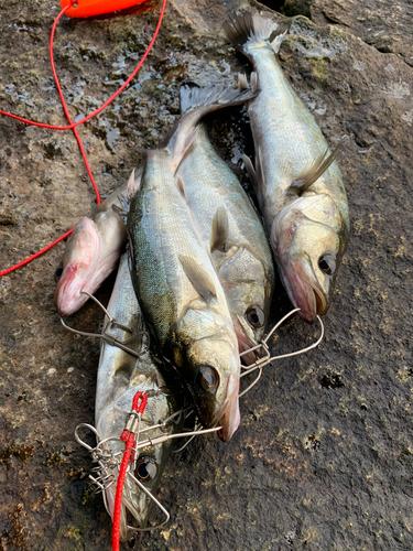 ハネ(マルスズキ)の釣果
