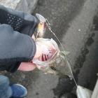 HAMUSTARの釣果