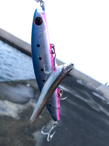 キビナゴの釣果