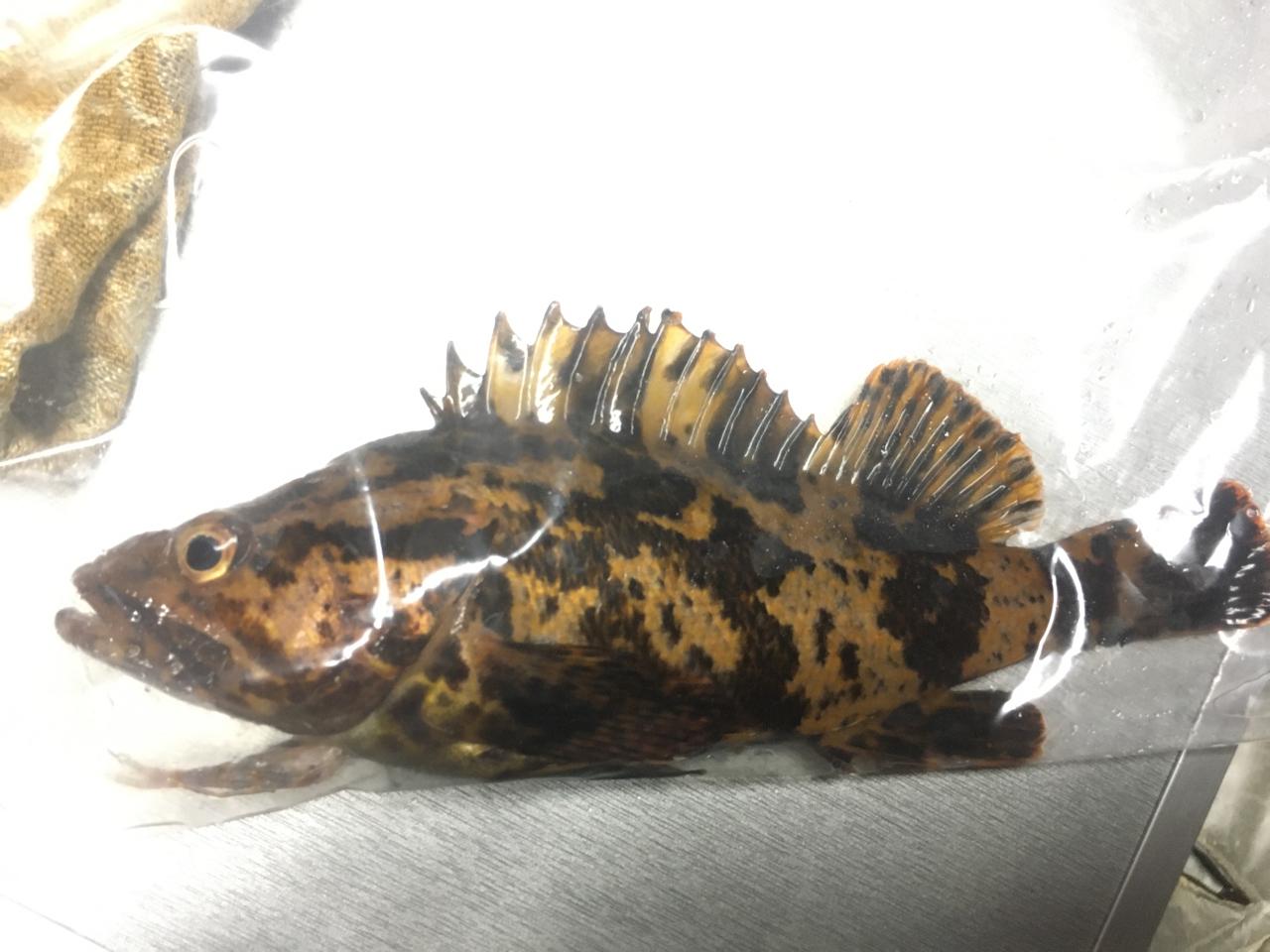 タケノコメバル