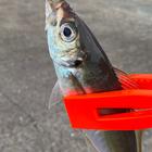 泉州共喰い協会の釣果