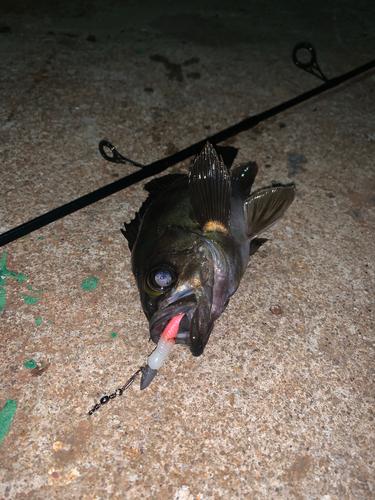 アカメバルの釣果
