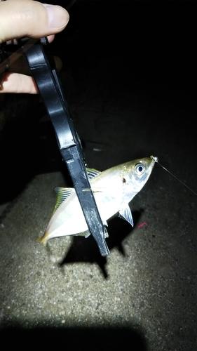 アジの釣果