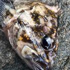 イカのおすしの釣果