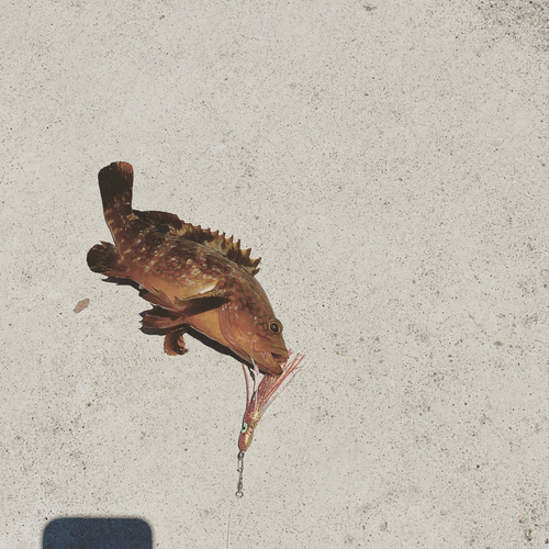 キジハタの釣果