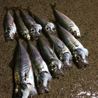 カワイイ魚屋さんの釣果