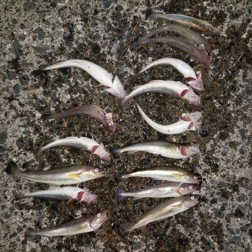 コマイの釣果