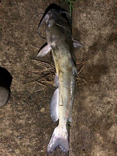 アメリカナマズの釣果