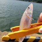 ヤマタノオロチの釣果
