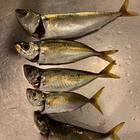 ナオマルの釣果