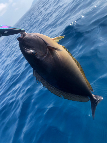 テングハギモドキの釣果