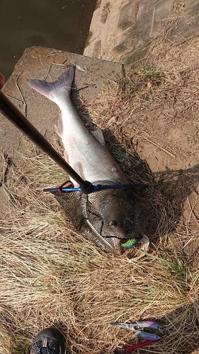 レンギョの釣果