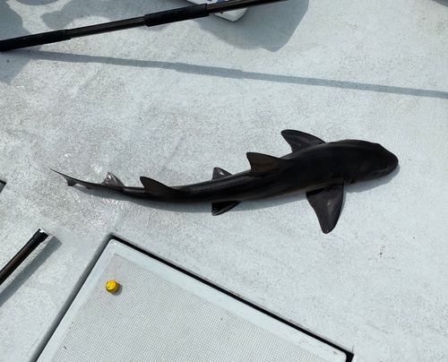 ドチザメの釣果