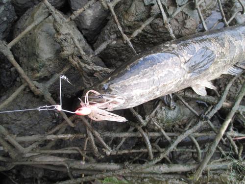 カムルチーの釣果