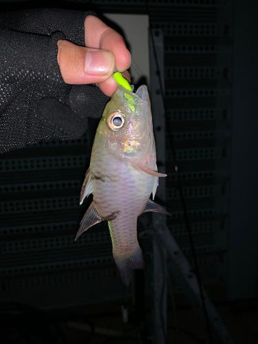 ミスジアカヒレイシモチの釣果