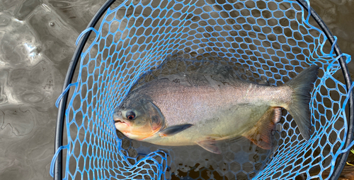 コロソマの釣果