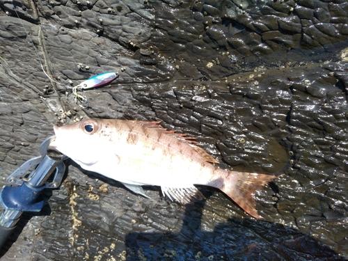 イトフエフキの釣果