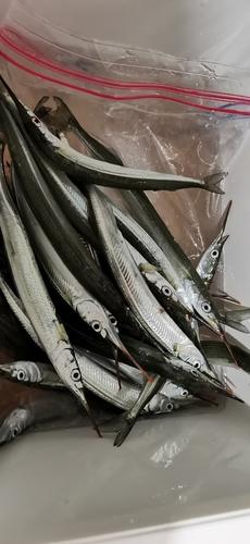 サヨリの釣果