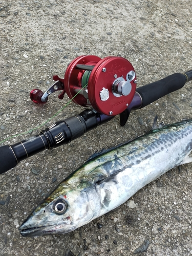 サゴシの釣果