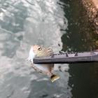 ヒメテングハギ