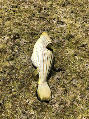 サザナミフグの釣果