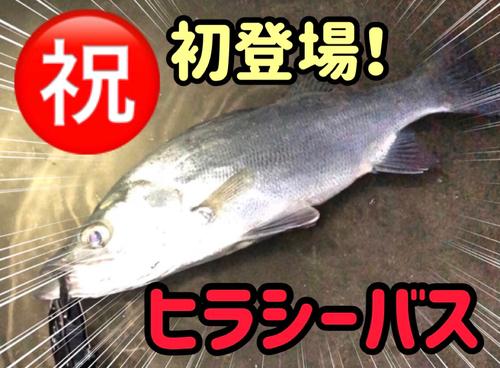セイゴ(ヒラスズキ)