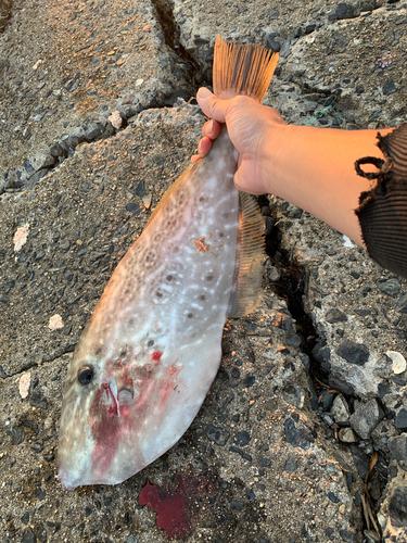 ウスバハギの釣果