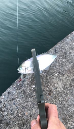 ミナミイケカツオの釣果