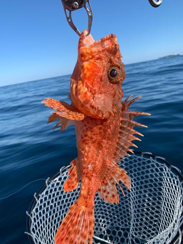 イズカサゴの釣果