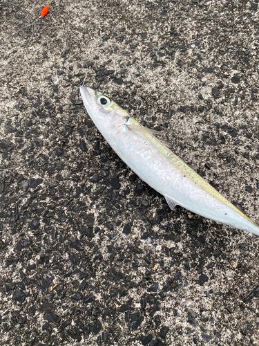 ムロアジの釣果