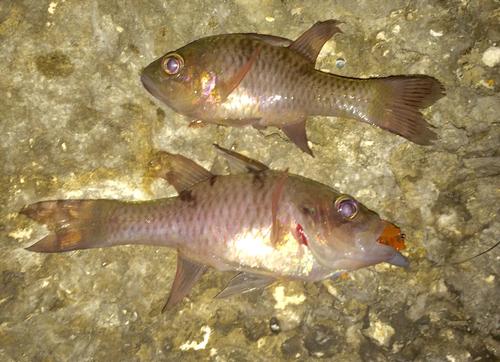 カスリイシモチの釣果