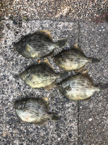 カワハギの釣果