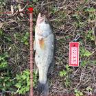 黒鱒爆釣の釣果