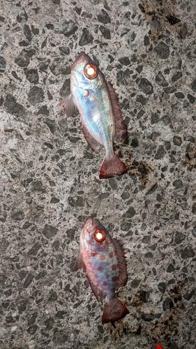 ゴマヒレキントキの釣果