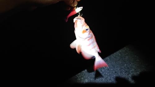 ホウセキキントキの釣果