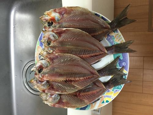 イサキの釣果