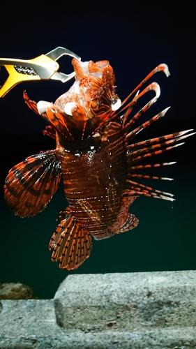 ミノカサゴの釣果