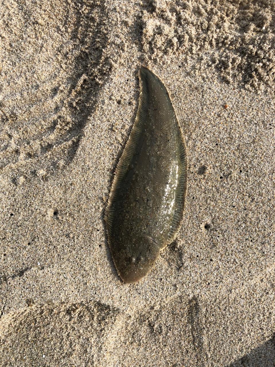 シタビラメ